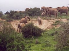 Elephants at Addo by <b>milesi</b> ( a Panoramio image )