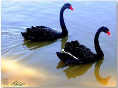 """Cisne Negro em dose dupla. Uma bela imagem de """"Odette"""" e """"Odile"""" by <b>Rubens Craveiro</b> ( a Panoramio image )"""