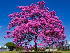 Ipe de Brasilia by <b>Dede de Ze Luca</b> ( a Panoramio image )