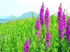 Farby letnej luky... Vrbica vrbolista /Lythrum salicaria/ by <b>Majo 65</b> ( a Panoramio image )