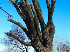 Silver Willow (Salix Alba) by <b>Henry Kula</b> ( a Panoramio image )
