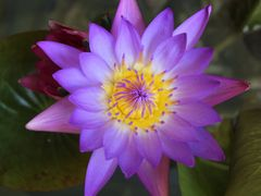Lotus by <b>Kai Kitsada</b> ( a Panoramio image )