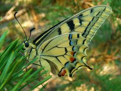 ...Butterfly by <b>Ghiocela</b> ( a Panoramio image )