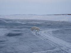 Arctic fox @ Ferguson Lk icestrip by <b>Jeff Martin</b> ( a Panoramio image )