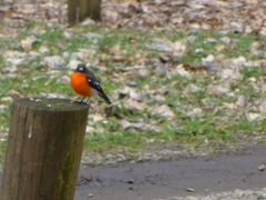 Flame Robin by <b>Peter Ermel</b> ( a Panoramio image )