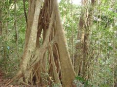 Strangler Fig by <b>Fritz77</b> ( a Panoramio image )