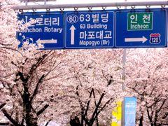 Yeoeuido Cherry Blossom by <b>Faintlightofdawn</b> ( a Panoramio image )