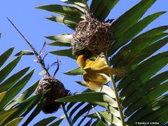 Uccello Tessitore Mascherato Africano by <b>Sandro & Cristina</b> ( a Panoramio image )