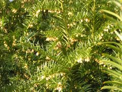 Biene M a j a in bluhendem E i b e n (Taxus)-Busch / Bee Maja in by <b>StuckenPeter</b> ( a Panoramio image )