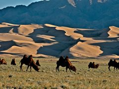 Camels at the sand dunes by <b>Bini</b> ( a Panoramio image )