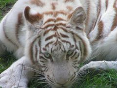 White tiger in Amersfoort Zoo by <b>© Andre Speek</b> ( a Panoramio image )
