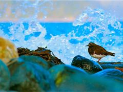 Back splash turnstone by <b>Curtis Guest</b> ( a Panoramio image )