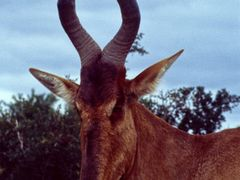 Red Hardebeest by <b>picsonthemove</b> ( a Panoramio image )