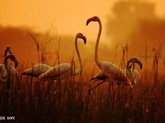 Greater flamingo by <b>tejas soni</b> ( a Panoramio image )