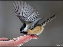Chicadee by <b>seventhheaven</b> ( a Panoramio image )