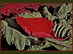 La fin du poinsettia ...  -the end-  ... :(  by <b>Mery 3°?~°?</b> ( a Panoramio image )