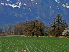 "Feldsalat Vaduz, Liechtenstein by <b>Pom""</b> ( a Panoramio image )"