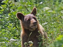 Black Bear on Grinnell Glacier Trail, Glacier National Park, Mon by <b>Doug Best</b> ( a Panoramio image )