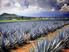Plantaciones de Agave tequilana Weber azul, Tequila, Jalisco by <b>? ? galloelprimo ? ?</b> ( a Panoramio image )