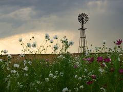 Cosmos flowers and wind pump by <b>ossewa</b> ( a Panoramio image )