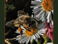 Je fais le  plein de pollen ! by <b>Mery 3°?~°?</b> ( a Panoramio image )