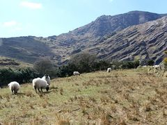 Hungry sheep by <b>Clive on Beara</b> ( a Panoramio image )