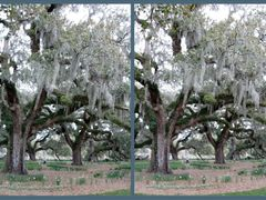 X3D Live Oak Trees at Brookgreen Gardens by <b>omomom</b> ( a Panoramio image )