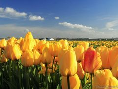 Spring in the Netherlands. Field of yellow tulips by <b>Roman Zazvorka</b> ( a Panoramio image )