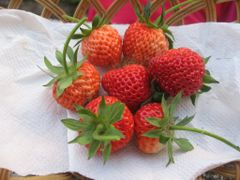 Strawberries  from my garden by <b>peacemaker453354 (No Views)</b> ( a Panoramio image )