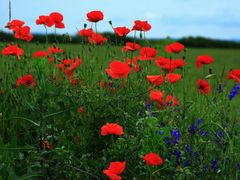 red poppies by <b>nelu_faur</b> ( a Panoramio image )