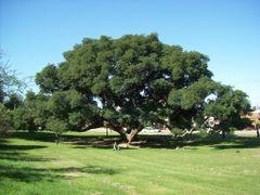 Arbol de gran tamano en el parque autoctono (Foto: Frank Boore). by <b>Frank Boore</b> ( a Panoramio image )