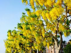 ??? (Golden Shower Tree, or Cassia fistula, or Indian Larbunum), by <b>Guarso Liu</b> ( a Panoramio image )