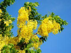??? (Golden Shower Tree, or Cassia fistula, or Indian Larbunum), by <b>Guarso Liu</b> ( a Panoramio image )