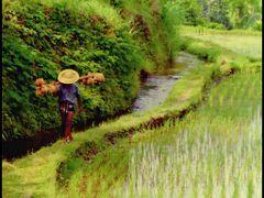 Rice Field, Bali by <b>?k-cam</b> ( a Panoramio image )