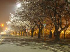 Cherry blossom in Yoiddo Seoul by <b>stephan Seo</b> ( a Panoramio image )