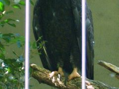 Bronx Zoo - bald eagle by <b>© Kojak</b> ( a Panoramio image )