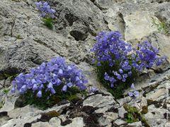 Campanula cochleariifolia - Zwerg-Glockenblume © AndreasF by <b>© AndreasF</b> ( a Panoramio image )