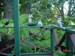 "Three Kookabura""s in Marysville by <b>Ronald Weilers</b> ( a Panoramio image )"