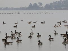 Canada Geese by <b>clickNZ</b> ( a Panoramio image )