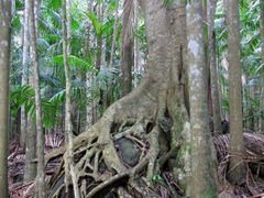 Forest in Witches Falls Section, Tamborine National Park, Queens by <b>Bruno Locatelli</b> ( a Panoramio image )
