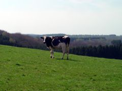 A real Belgian cow (black and white) by <b>Lecleire Jacques</b> ( a Panoramio image )