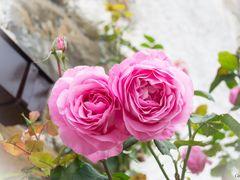 En oto?o, las rosas tambi?n est?n muy bonitas.. (para mis amig@s by <b>CarmenT</b> ( a Panoramio image )