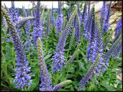 Veronica Longifolia / Speedwell by <b>AdanaMi.</b> ( a Panoramio image )