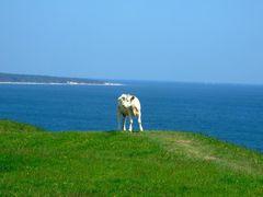 Kaseberga - suicide cow :) by <b>Rafal Gawron</b> ( a Panoramio image )